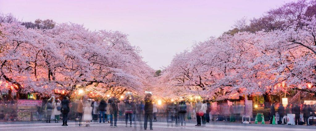Sakura, Tóquio, Japão